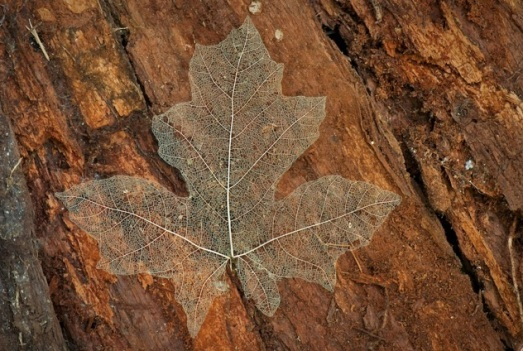 Maple-leaf-skeleton